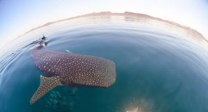 Whale Shark Swimming-All Inclusive
