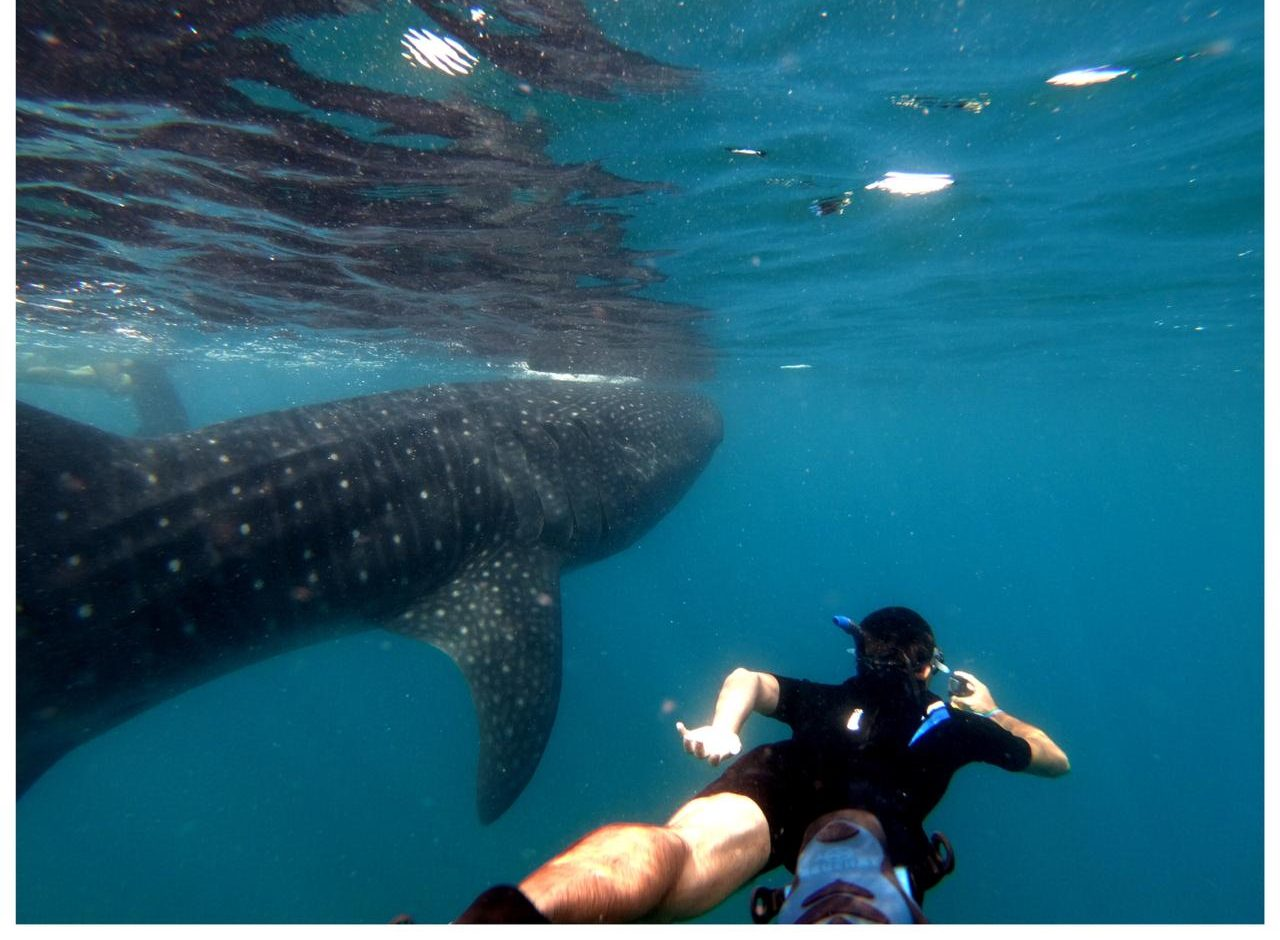 swim with whale sharks cabo